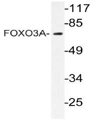 AP20980PU-N - FOXO3 / FKHRL1