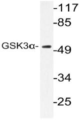 AP20981PU-N - GSK3 alpha