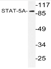 AP20999PU-N - STAT5 / STAT5A