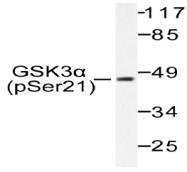 AP20890PU-N - GSK3 alpha