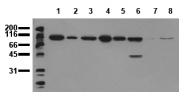 AM00020PU-N - Catenin beta-1