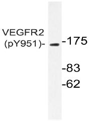 AP20911PU-N - CD309 / VEGFR-2 / Flk-1
