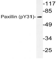 AP20813PU-N - Paxillin /  PXN