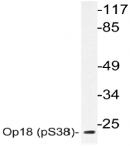 AP20839PU-N - Stathmin / STMN1