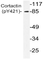 AP20857PU-N - Cortactin