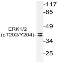 AP20886PU-N - MAPK3 / ERK1