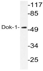 AP20745PU-N - DOK1 / p62 dok