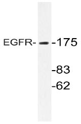 AP20754PU-N - EGFR / ERBB1