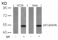 AP08001PU-N - TP53 / p53