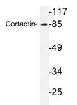 AP20737PU-N - Cortactin