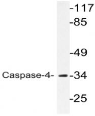 AP20779PU-N - Caspase-4