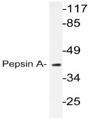 AP20789PU-N - Pepsin