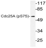 AP20807PU-N - CDC25A