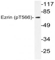 AP20809PU-N - Ezrin