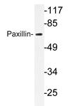 AP20690PU-N - Paxillin /  PXN