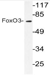 AP20683PU-N - FOXO3 / FKHRL1