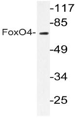 AP20684PU-N - FOXO4 / AFX1 / MLLT7
