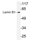 AP20660PU-N - Lamin-B1 (LMNB1)