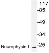 AP20599PU-N - Neurophysin 1