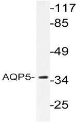AP20601PU-N - Aquaporin-5
