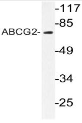 AP20605PU-N - CD338 / ABCG2 / BCRP1