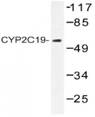 AP20543PU-N - CYP2C19