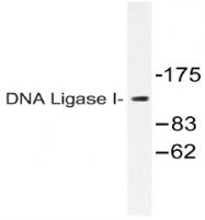 AP20546PU-N - DNA ligase 1
