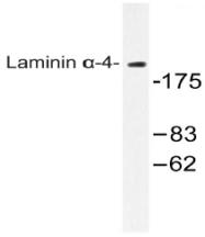 AP20549PU-N - Laminin alpha 4
