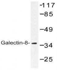 AP20558PU-N - Galectin-8