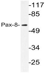 AP20584PU-N - PAX8
