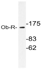 AP20585PU-N - CD295 / Leptin Receptor