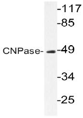 AP20586PU-N - CNPase