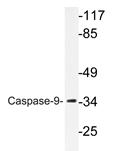AP20355PU-N - Caspase-9