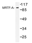 AP20453PU-N - Myocardin-Like Protein 1