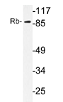AP20331PU-N - Retinoblastoma-associated protein / RB1