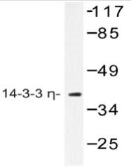 AP20467PU-N - 14-3-3 protein eta