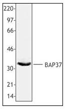 AP08343PU-N - Prohibitin-2