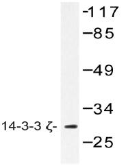 AP20468PU-N - 14-3-3 protein zeta/delta