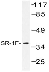 AP20470PU-N - Serotonin receptor 1F (HTR1F)