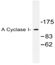 AP20473PU-N - Adenylate cyclase type 1