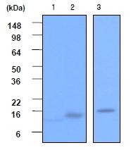 AM05628PU-S - VAMP-2 / Synaptobrevin-2