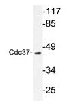 AP20296PU-N - CDC37