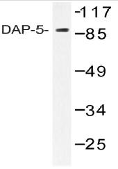 AP20486PU-N - eIF4G2 / DAP5