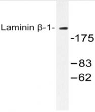 AP20487PU-N - Laminin beta-1 / LAMB1