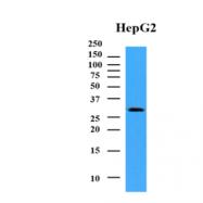 AM09374PU-N - NMNAT1