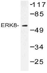 AP20501PU-N - Cyclin H