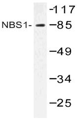 AP20504PU-N - Nibrin