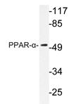 AP20267PU-N - PPAR-alpha