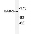 AP20237PU-N - ERBB3 / HER3