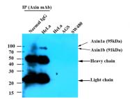 AM09377PU-N - Axin-1